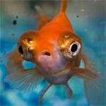 Personal RC goldfish avatar