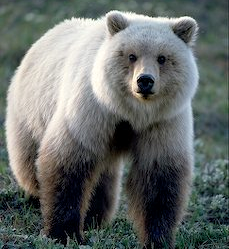 Glacier Blue Bear