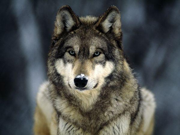 Lobo - Wiki Reino Animalia