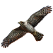 Item northerngoshawk 01