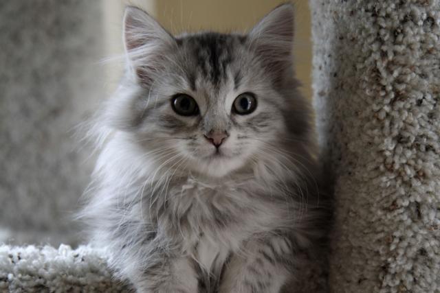 fluffy light gray cat - photo #2