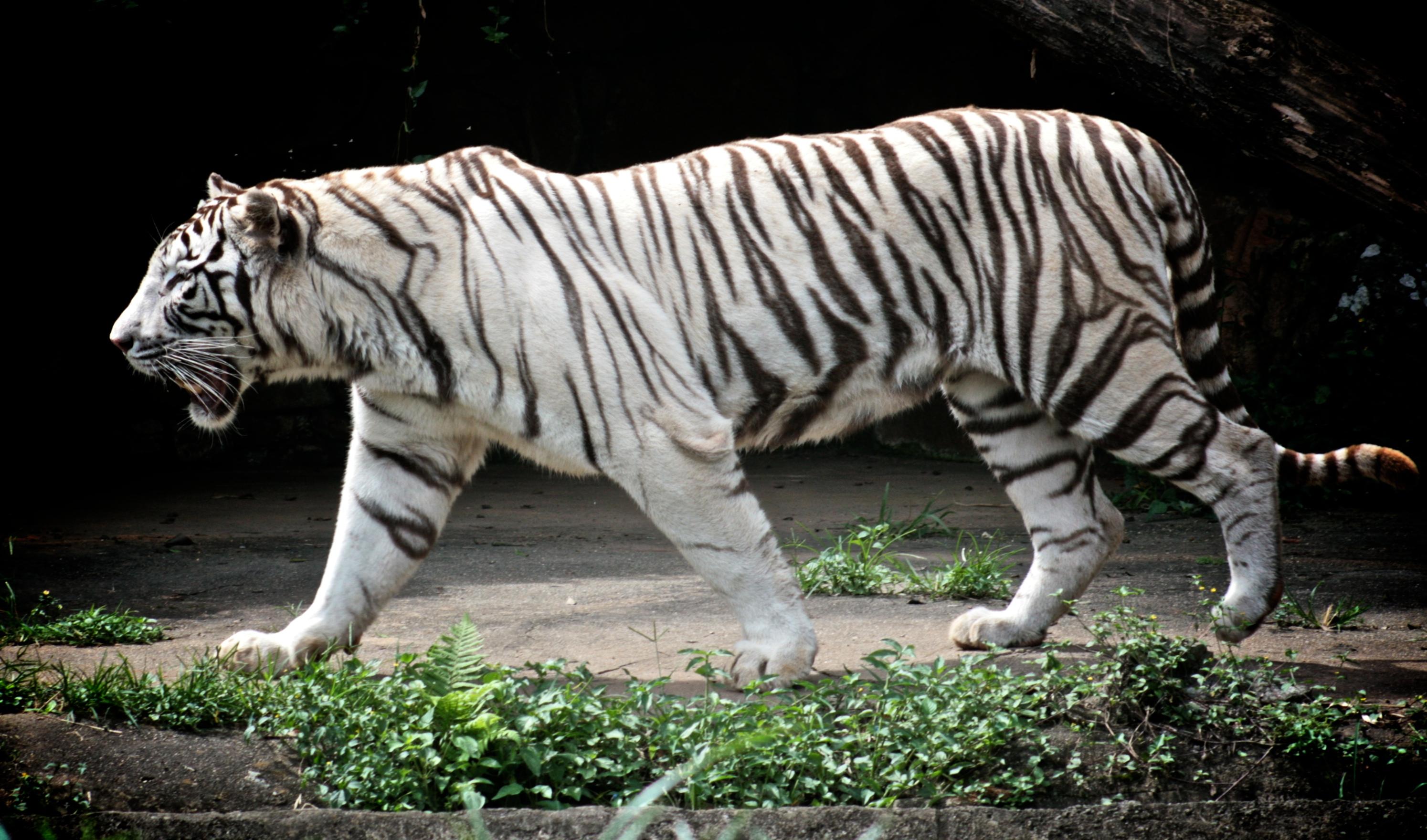 leon y tigre blanco - photo #6