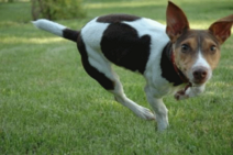 Jack-rat-terrier-run