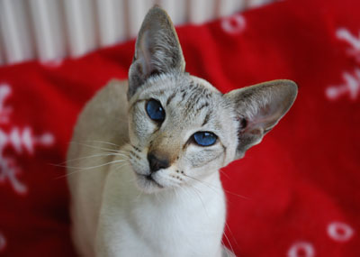 Blue Point Seal Siamese Cats Seal Lynx Point Siamese Cats