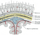 Scalp (anatomy)