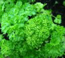 Curled leaf parsley
